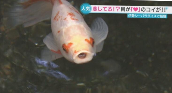 目がハート柄の鯉がSNSで人気‥伊勢シーパラダイス 三重