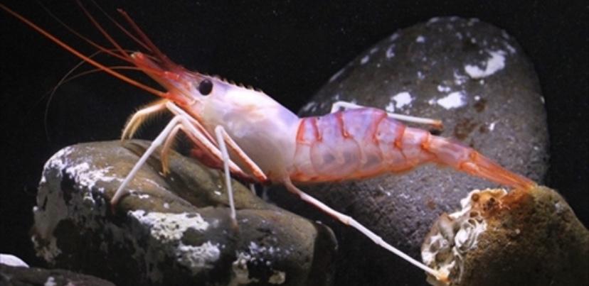 北海道・知床沖で新種のエビが発見される 「シラユキ」「シレトコ」「クレナイ」の3種類