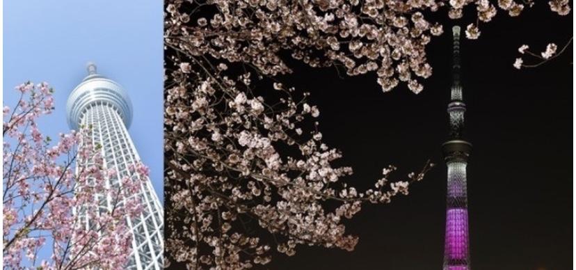 東京スカイツリーが「世界一高い桜」に?