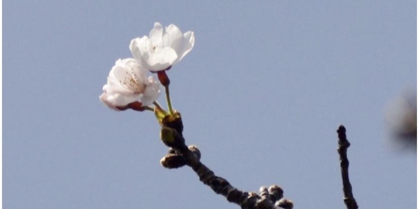 長崎で桜が開花、全国で最も早く
