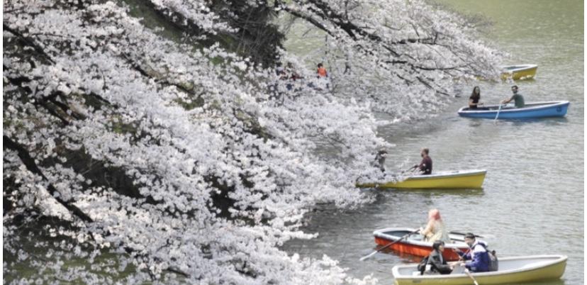 東京で桜が満開に、全国で一番乗り