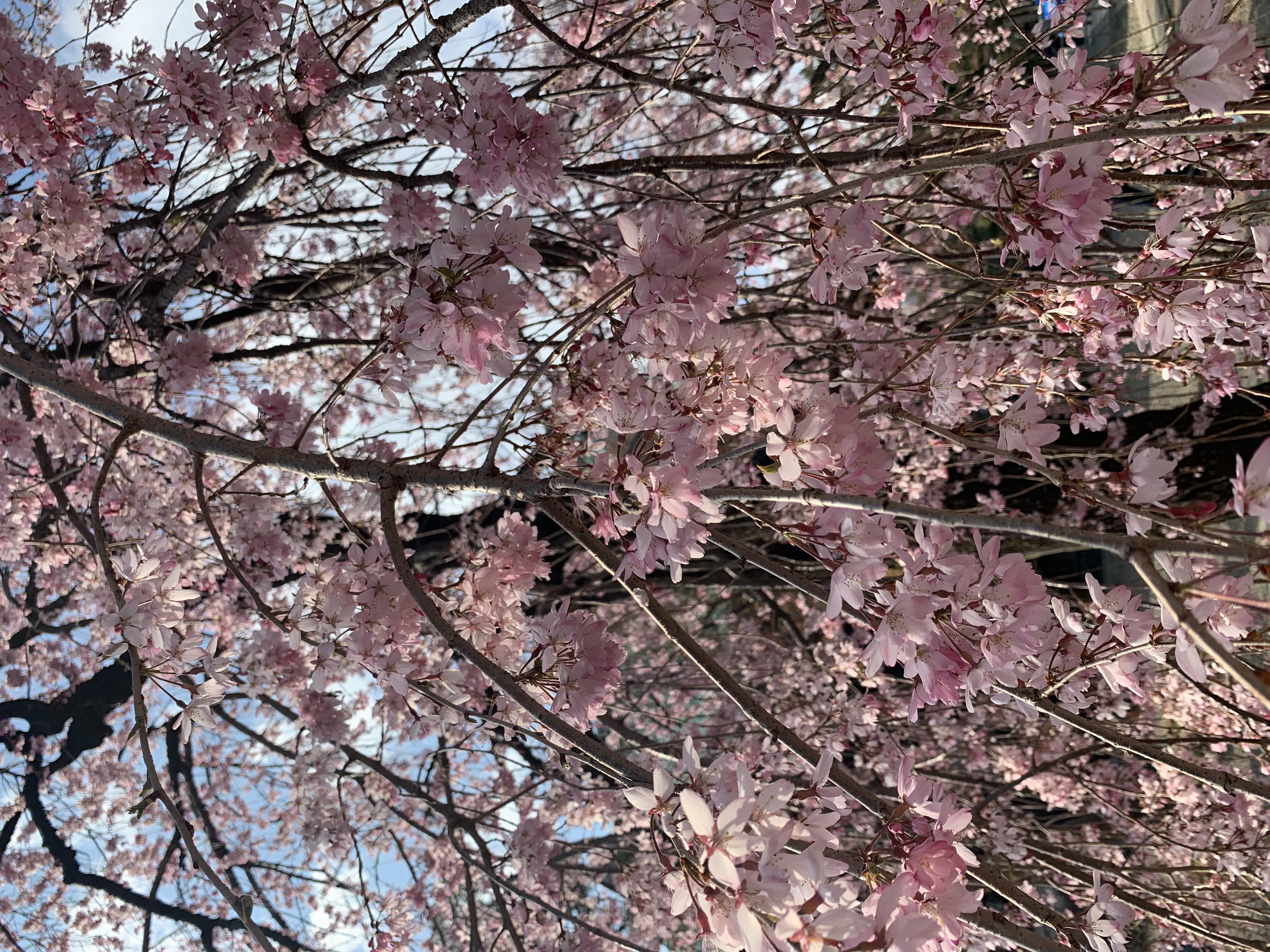 桜🌸護国寺[文京区]