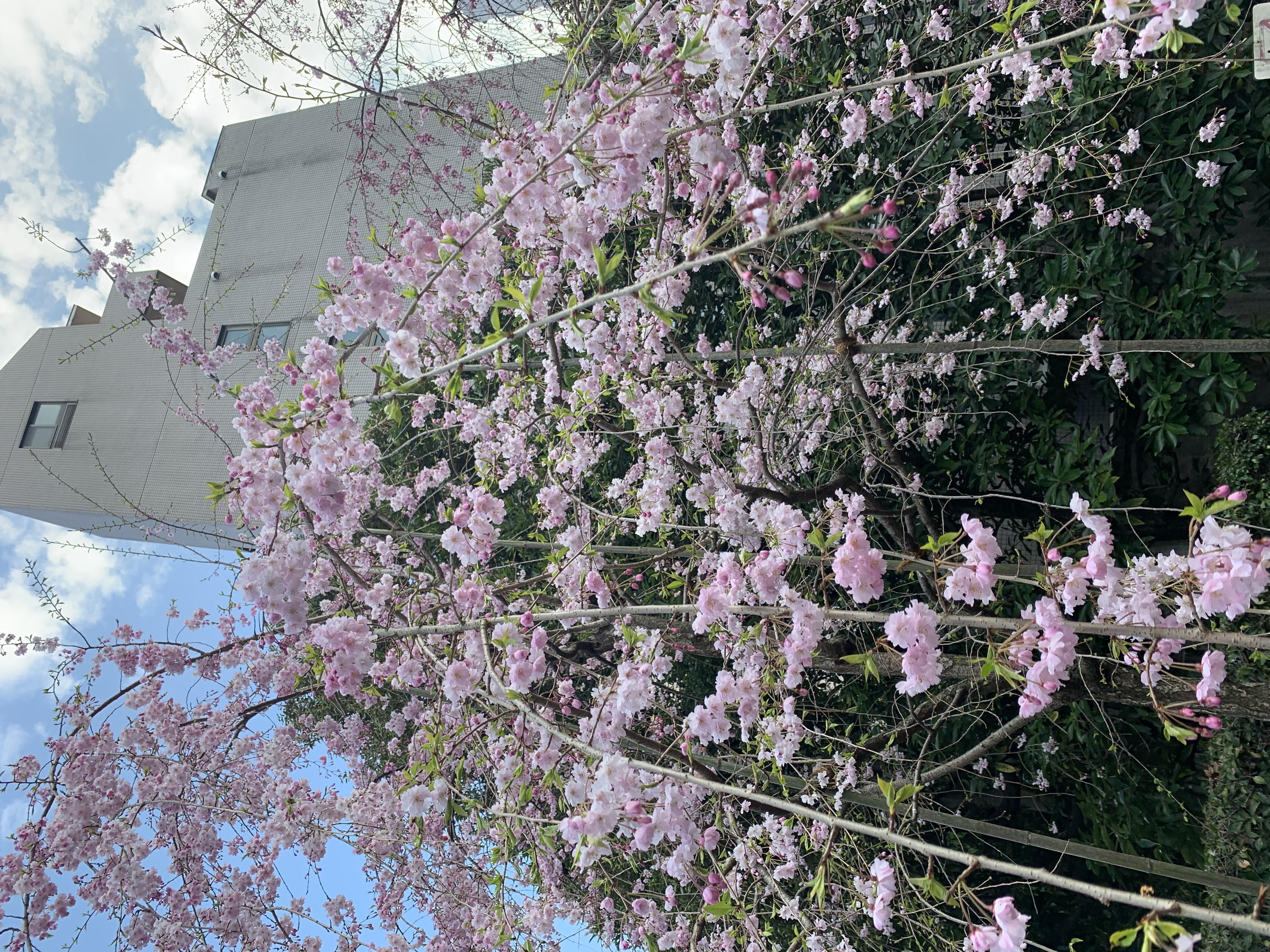 桜🌸吉祥寺[文京区